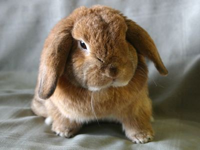 Holland_lop