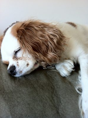 dog-sleeping-438507_960_720
