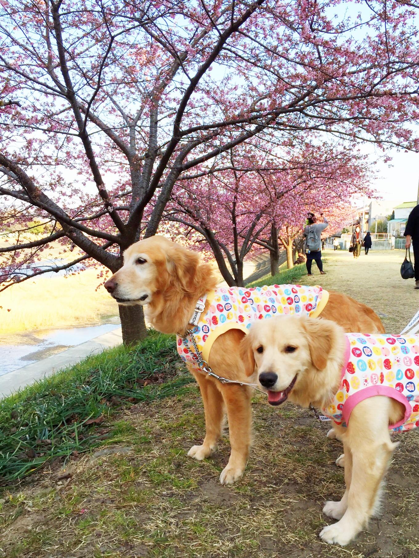 思い出の河津桜
